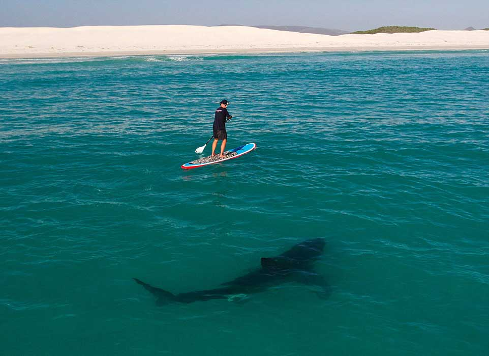shark-in-water-paddle-surf